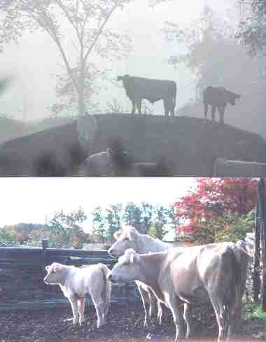 cows playing: king of the hill, and posing